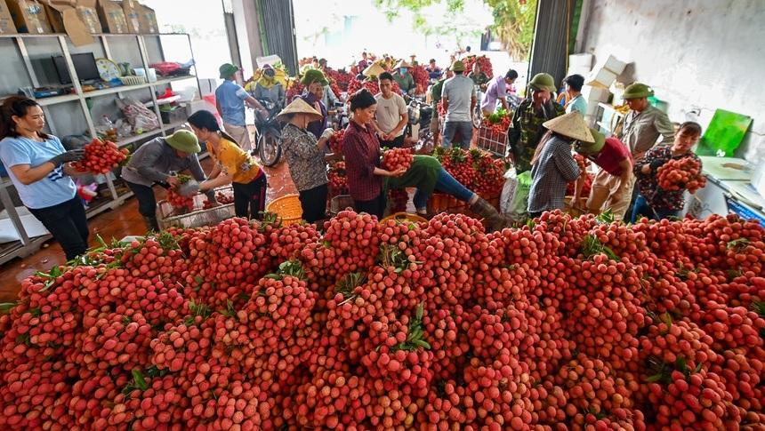Mùa vải chín: Phiên chợ rực sắc đỏ độc nhất Việt Nam
