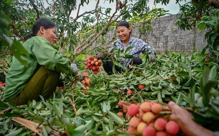 Mùa vải chín: Phiên chợ rực sắc đỏ độc nhất Việt Nam 3